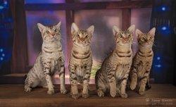 3-4.12.2016 Moskau cat show