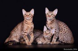 Котята питомника